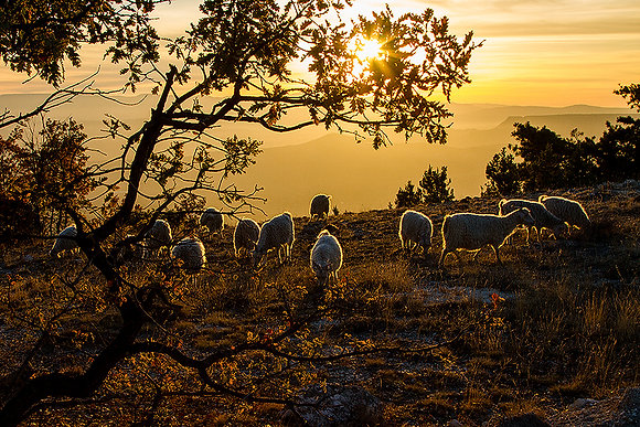 Tiftik keçileri