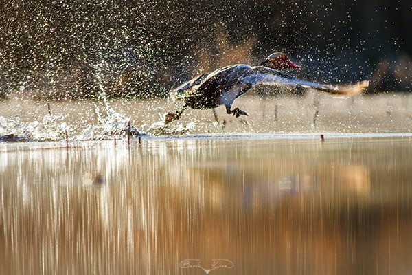 Pazartesi sendromu (Macar ördeği) - 2017