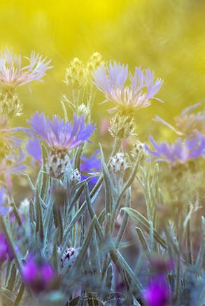 Peygamber çiçeği - 2018