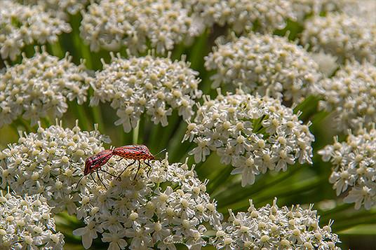 Tavşancıl otu ve böcekler - 2012