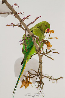 Egzotik misafir No.2 (Yeşil papağan) - 2017