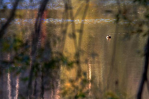 Orman gölü sakini