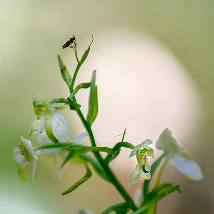 Orkide ve misafiri -2
