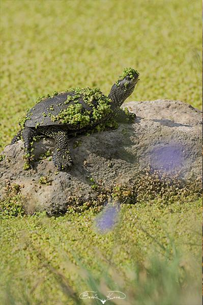 Güneşlenme zamanı (Benekli tatlısu kaplumbağası) - 2010
