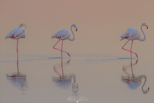 Sıra sıra inciler (Flamingo) - 2017
