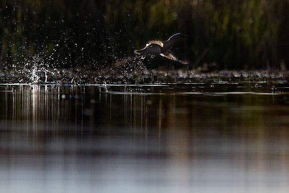 Ördek kalkışı