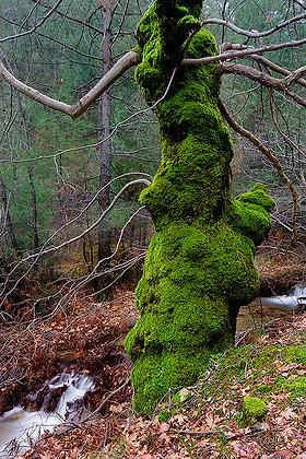 Yosun kıyafetli ağaç