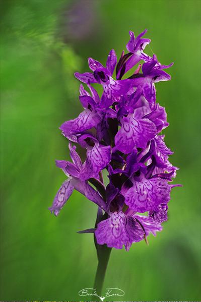 Ilgaz orkidesi - 2016