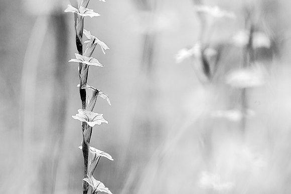 Geven çiçekleri