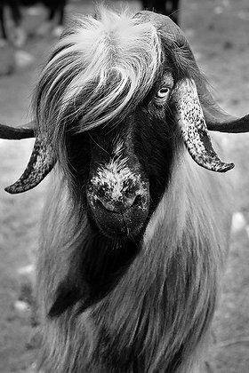 Sarı keçi