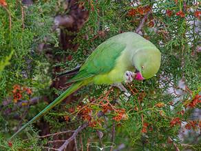 Ankara'nın yabanıl papağanları