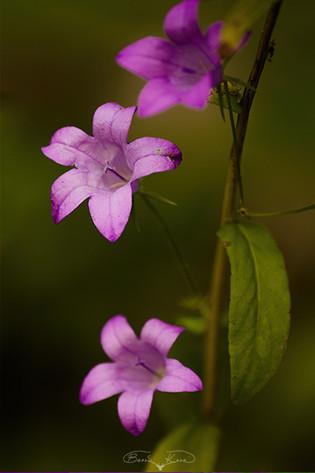 Çan çiçeği - 2012