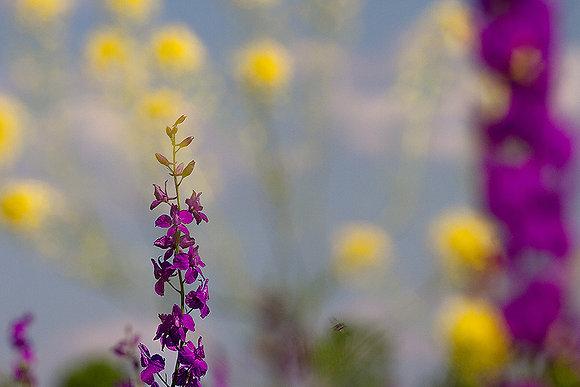 Yabani çiçek tarlasında