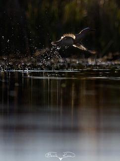 Ördek kalkışı (Çıkrıkçın) - 2017