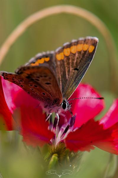 Sevgi çiçeği ve kelebek - 2010