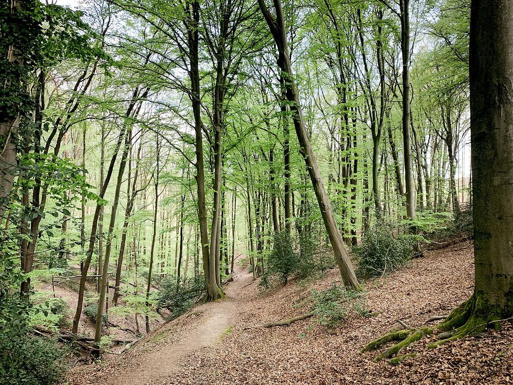 Laubwald durch den ein schmaler unbefestigter Waldweg führt.