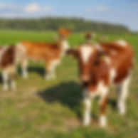 cows-on-a-pasture-1568971665b3W.jpg