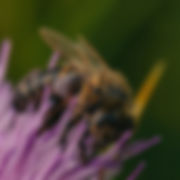 black-and-brown-bee-on-flower-2949743_ed