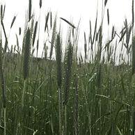 rye-cover-crop.jpg