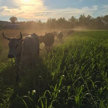 Brookford Farm Cows.png
