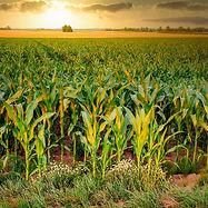 corn-4896300_1920.jpg