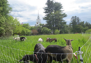 main st cheese goats with church in background.jpg