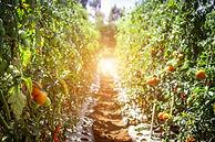 pathway-between-tomato-fruits-1675211.jp