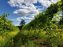 shara vineyard 2021.jpg