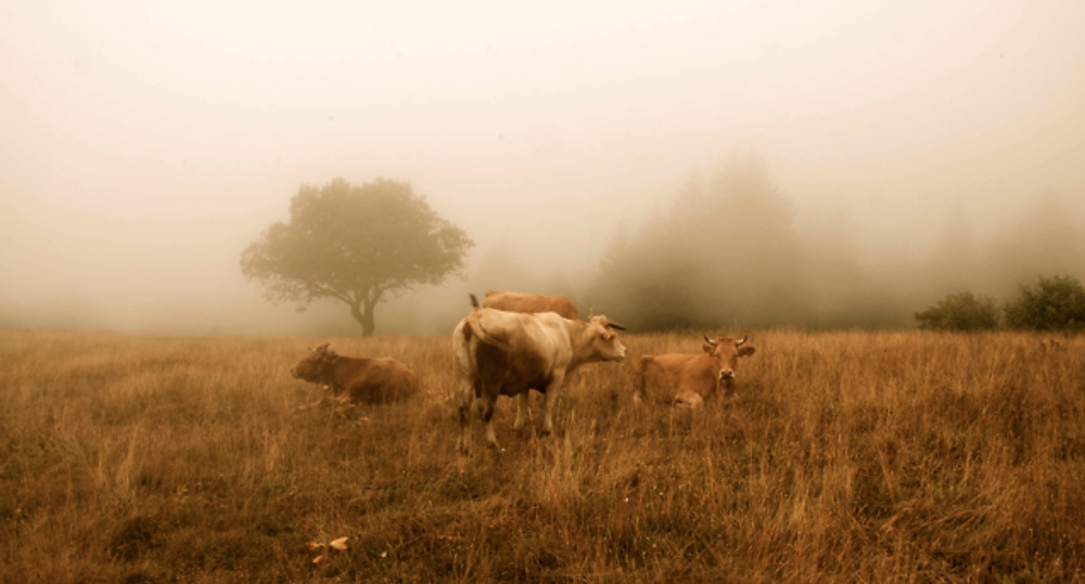 French cows in a mist photographed by the bride's sister (and daughter of William).