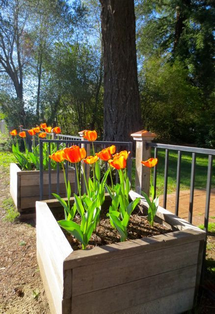 """Nothing says """"spring"""" like a bed of tulips! Photo by Darra Williamson."""