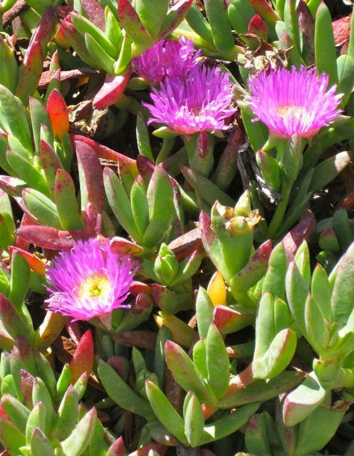 Ice plant on the ocean cliffs, Point Reyes National Seashore