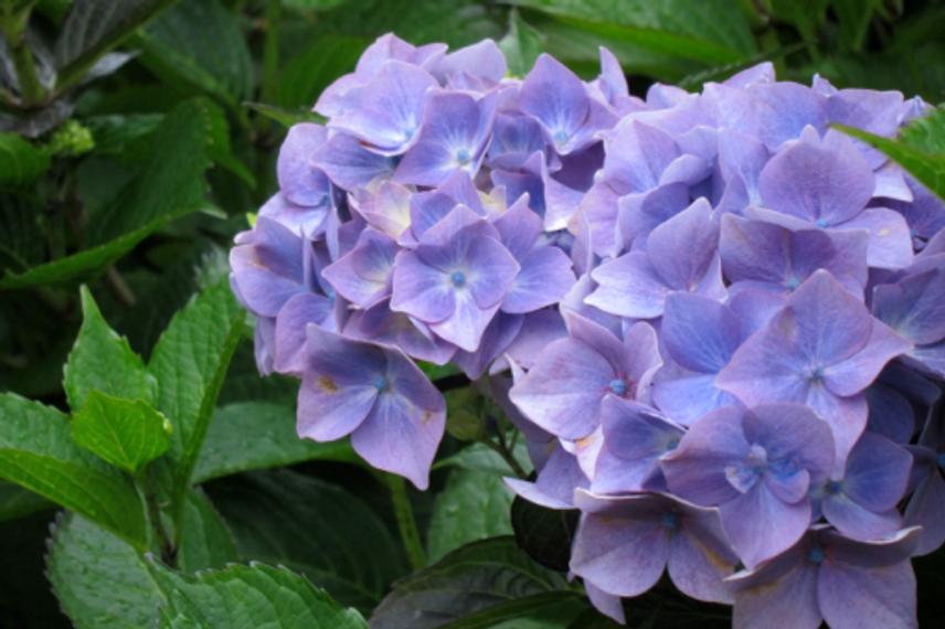 Inspiration-J:  French Purple Hydrangea