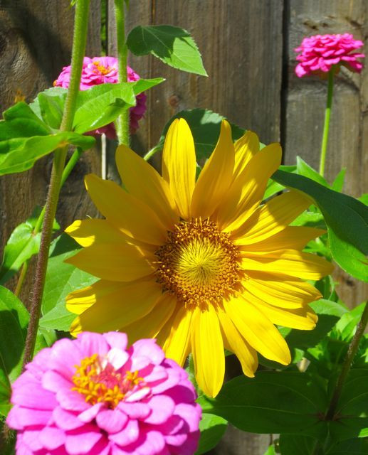 A sunflower peeks out from amongst the zinnias. Wouldn't this make a lovely quilt?