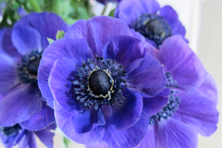 Inspiration-J:  Purple Anemone