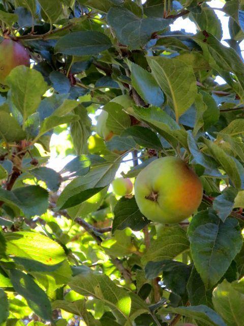 Backyard fruit!