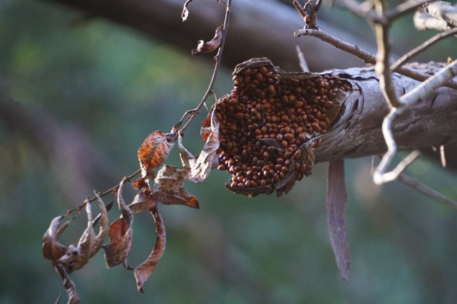 """This is just a small snapshot of the thousands upon thousands of ladybugs """"wintering over"""" at one of our local Regional Parks."""
