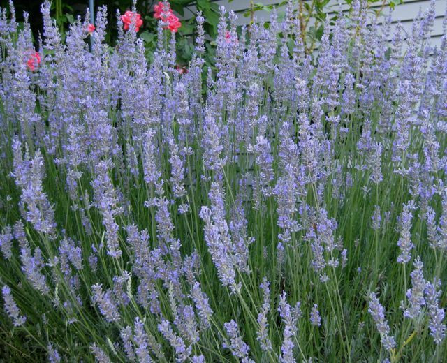 Just a small sampling of last year's lavendar crop