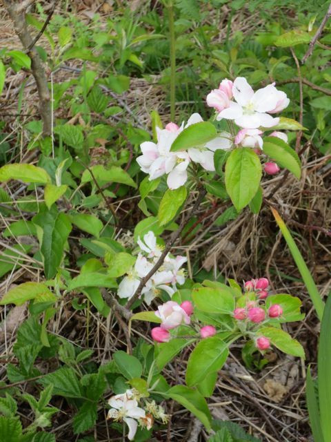 Delicate pink blossoms in the wild. Photo by Darra Williamson