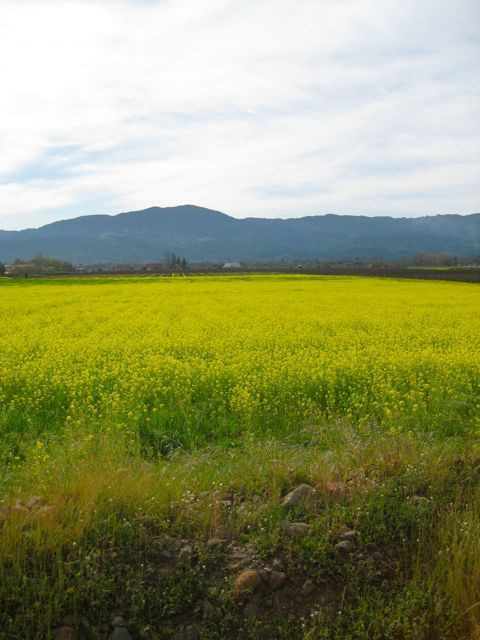 Mustard in bloom in the vineyards, on the road to Calistoga