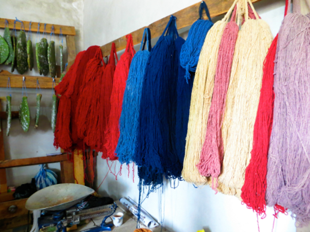 Dyed wool displayed next to cochineal infested cacti.