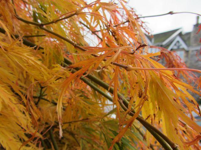 Chris's gold foliage