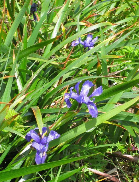 Wild iris on the Chimney Rock trail, Point Reyes National Seashore