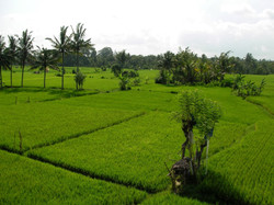 Green field Ubud - I Love Bali (61)