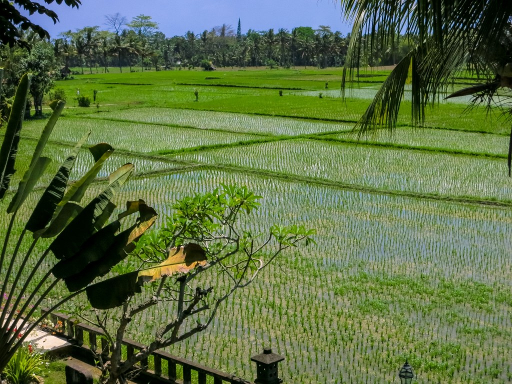 Green field Ubud - I Love Bali (53)