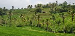Jatiluwih riisiterassi