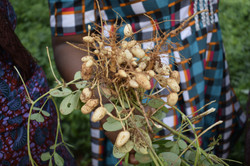 Jeunes pousses d'arachides cultives