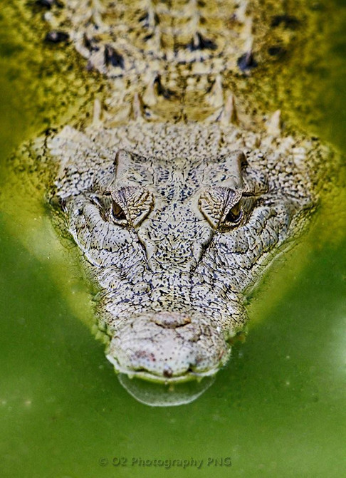'Siapea' Crocodile