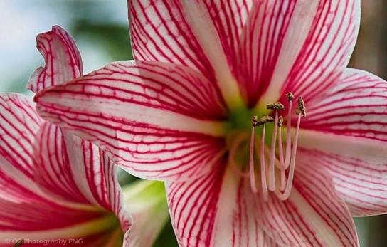 Pink Oriantal Hybrid Lily