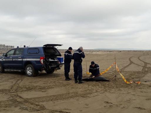 (20/02) Aude : un dauphin retrouvé mort sur une plage