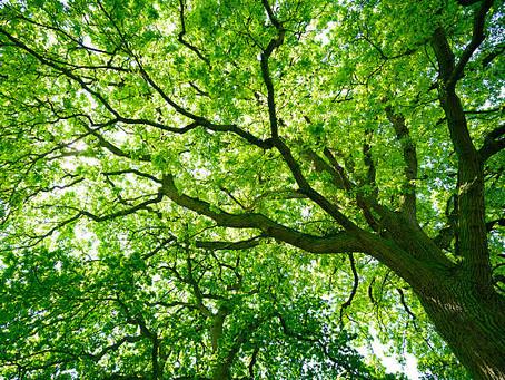 Oak Tree Abiding